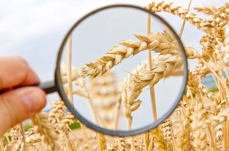 Lupe vergrößert Weizen